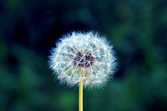 341. Wish I Might (enfys photography) Tags: summer toronto nature canon evening weed dandelion wish t3i makeawish day341 365project