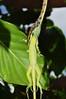 Vine snake eating iguana (Pasha Kirillov) Tags: costarica animalplanet snakeeating brownvinesnake oxybelisaeneus cahuitanationalpark geo:country=costarica taxonomy:binomial=oxybelisaeneus