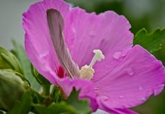 One left behind.Explored (Omygodtom) Tags: pink wild macro green nature nikon bokeh feather tammy pdx tamron raindrop tamron90mm dk7 simpleflowers d7000