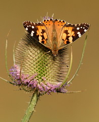 Painted Lady (Mandy West) Tags: paintedlady