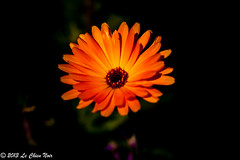 The sunshine in the darkness (LeChienNoir , Into the light ;)) Tags: orange flower yellow canon geel oranje bloem canonnl lechiennoir