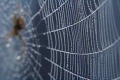 IMG_1655 (ultomatt) Tags: nature beauty gardens garden insect spectacular spider natural fierce spiders web arachnid spiderweb insects spiderwebs webs naturally