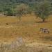 Burchell's zebras in Lake Mburo National Park