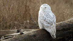 Nothing But a Memory (The Owl Man) Tags: female snowy estuary raptor owl boundarybay predator roosting