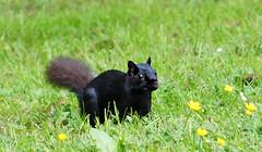 Squirrel (sea turtle) Tags: canada animal animals vancouver squirrel britishcolumbia wildlife stanley stanleypark