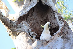 Sulphur crested cockatoo at home (tanetahi) Tags: white bird native australian queensland cockatoo nesting cacatuagalerita treehollow sulphurcrested cacatuidae psittaciformes