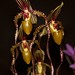 Paphiopedilum Angel Hair – John Hagee