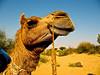 Camel (Manju) (Brutal Dictator) Tags: boy india canon village desert indian goat powershot safari camel goats jaisalmer manju a630