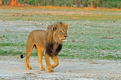 Cecil -  The black maned Lion - RIP! (paulafrenchp) Tags: black lion sable safari lions antelope zimbabwe elephants cecil roan bigfive hwange gamedrive hyenas maned wildernesssafari littlemakololo davinsonscamp