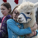 alpaca christmas sale - maine - 31