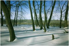 Amongst the Trees - Minnesota Valley National Wildlife Refuge (dtredinnick13) Tags: trees winter snow minnesota landscape shadows mn wintertrees winterlandscape minnesotariver winterphotography minnesotavalleynationalwildliferefuge mvnwr