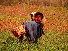 Pa-Oh woman harvesting chillies (Myanmar 2013)