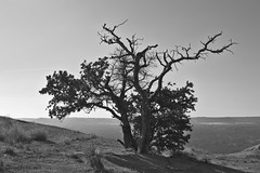 Lonely Trees (DanielTestonPhotography) Tags: old winter bw white black tree rock sepia dead photography texas tx country hill tex worn weathered fredericksburg enchanted