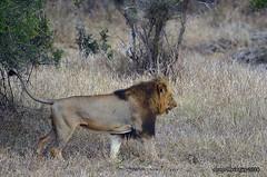 DSC_6979 (Arno Meintjes Wildlife) Tags: africa wallpaper southafrica bush wildlife lion safari getty predator krugerpark pantheraleo nture arnomeintjes