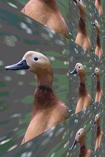 #CrazyCamera duck