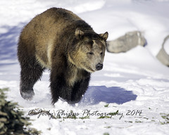 Frolicking in the Snow (RU4SUN2) Tags: bear winter snow animals montana wildlife grizzlybear