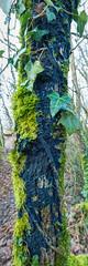 Pulcherricium caeruleum - Cortice bleue (Vincent L°) Tags: france macro photographie hiver vienne champignon saison chauvigny poitoucharentes