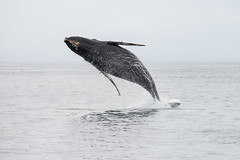 Full Breach (fascinationwildlife) Tags: california sea wild usa nature animal america mammal bay monterey moss jump meer wildlife natur watching landing whale humpback wal breach buckelwal