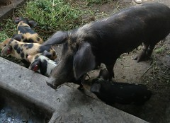 Local breed sow and piglets on a farm in Masaka district, Uganda (International Livestock Research Institute) Tags: africa research pigs uganda feeds eastafrica ilri animalfeeding assp crp37 crp4