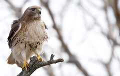 Red-Tailed Hawk (Mark Giuliucci) Tags: ma island plum plumisland redtailedhawk