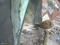 Falcon inspecting his roost - mouse in left talon (tedesco57) Tags: am baden falcons neckar esslingen stadtkirche turmfalke wurttemberg