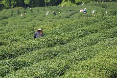 Tea farmers picking tea-leaves (Picocoon) Tags: lake west green garden leaf dragon tea top chinese class well hangzhou farmer zhejiang longjin