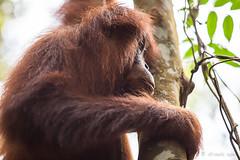 Orangutan 4826 (Ursula in Aus) Tags: animal sumatra indonesia unesco orangutan ape greatape bukitlawang gunungleusernationalpark earthasia