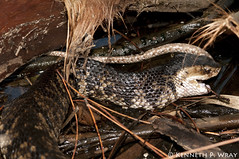 Agkistrodon piscivorus conanti (Florida Cottonmouth) (Kenny Wray) Tags: nature water florida eating reptile snake wildlife kenny herp herps venomous moccasin watermoccasin cottonmouth wray reptilia agkistrodon snakeeating fieldherping serpentes piscivorus herping conanti agkistrodonpiscivorusconanti crotalidae floridacottonmouth snakeeatingsnake kennywray cottonmoutheating
