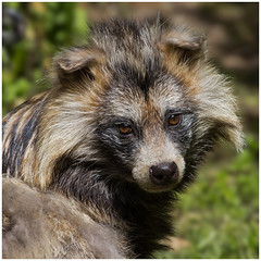 Raccoon Dog (FocusPocus Photography) Tags: animal tier wildpark raccoondog badmergentheim nyctereutes procyonoides marderhund wildifepark