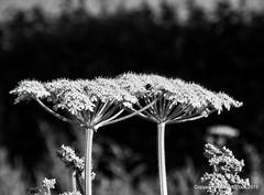 Hogweed (pike head) Tags: uk england olympus devon torquay torbay cockingham 570uz photoengine oloneo