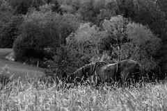 Long grass (VesaM) Tags: summer blackandwhite bw horse pet pets nature ecology field animal animals blackwhite scenery seasons health pasture land environment summertime agriculture creatures creature environmentalism allergy ecosystem zoology hayfever healthiness grazinglands agriculturallands farmscape domesticatedanimals companionanimals
