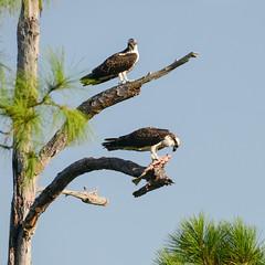 Osprey Nest Day 137 (stephaniepluscht) Tags: bon fish flickr nest wildlife alabama explore national osprey refuge ospreys nestling 2015 nestlings secour