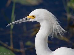Snowy Egret (larryyorknh) Tags: birds floridakeys