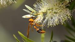 Potter Wasp (blachswan) Tags: winterswamp mullahwallahwetlands mullahwallah wetland wetlands ballarat victoria australia lucas potterwasp