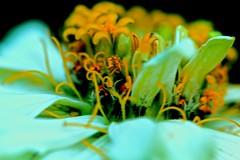 Much close up (Rajavelu1) Tags: flowers macro macrophotograph art artwork creative canonef100mmf28macroisusmlens canon60d plant colours closeup beauty beautyofnature