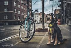 3/12A Jasper - cool bike... (yookyland) Tags: 12monthsfordogs 2017 jasper 312 dog city street aqua bicycle dawn