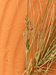 Desert Sedge (tinlight7) Tags: sedge desert sand dune sharjah uae taxonomy:kingdom=plantae plantae taxonomy:clade=tracheophyta tracheophyta taxonomy:phylum=magnoliophyta magnoliophyta taxonomy:class=liliopsida liliopsida taxonomy:order=poales poales taxonomy:family=cyperaceae cyperaceae taxonomy:genus=carex carex taxonomy:species=resectans taxonomy:binomial=carexresectans carexresectans desertsedge taxonomy:common=desertsedge