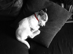 Paddy (Paul Thickitt) Tags: blackandwhite dog puppy jackrussellterrier selectivecolour