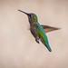"Green backed hummingbird... • <a style=""font-size:0.8em;"" href=""https://www.flickr.com/photos/41711332@N00/8760071084/"" target=""_blank"">View on Flickr</a>"