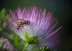 Bee in the mimosa 01 (BullockStudios) Tags: pink red white flower tree green bug insect fan texas katy south feather bee bloom fiber mimosa