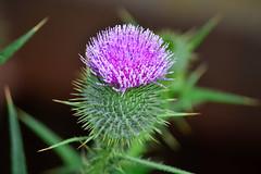 オニアザミ (Thistle) (Dakiny) Tags: plant flower japan thistle yokohama 花 植物 アザミ 2013 aobaku 2013年 オニアザミ 横浜市青葉区 鬼薊