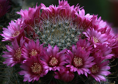 Mammillaria zeilmanniana (Cactipal) Tags: cactus mammillaria zeilmanniana cactipal