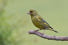 Greenfinch (Carduelis chloris) (phil winter) Tags: garden ring greenfinch carduelischloris