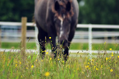 Through the grass (Emma-Louise Bearman) Tags: horse mare equestrian equine filly foal
