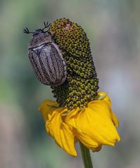scarab beetle on cone flower (Jeff Mitton) Tags: nature coneflower wonders scarabbeetle