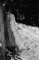 On the hill [2] (roodixx) Tags: wood summer bw sun tree film woods voigtlander trunk f4 25mm bessar3a colorskopar neopan100acros