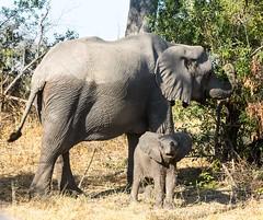 20130601_Botswana_Vumbura_Plains_0012.jpg (Bill Popik) Tags: africa elephants botswana mammals 2places 3animals