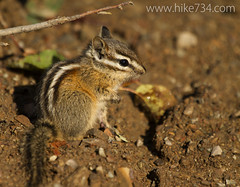 """Chipmunk • <a style=""""font-size:0.8em;"""" href=""""http://www.flickr.com/photos/63501323@N07/9459280762/"""" target=""""_blank"""">View on Flickr</a>"""
