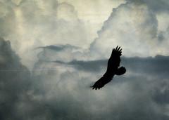 Condor (M. Cockrell) Tags: california bird nature clouds flight textures thunderstorm vulture tstorm californiacondor sonyslta58k