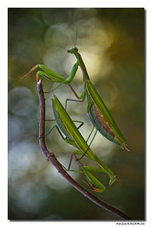 Mantis Religiosa - Mante Religieuse #10